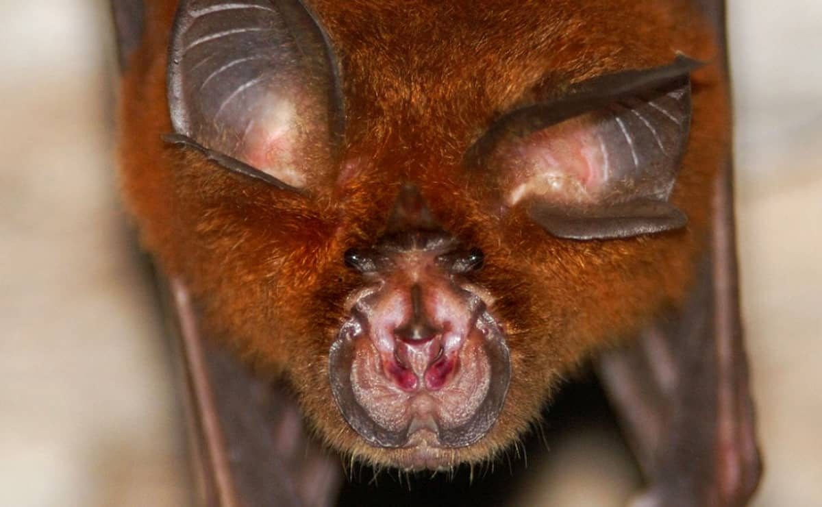 Lepakon kasvot, nenän ympärillä hevosenkengän muotoinen ihopoimu.