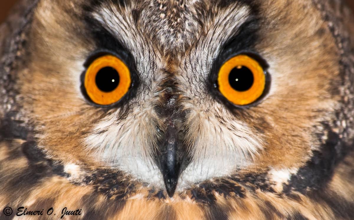 Sarvipöllö tuijottaa
