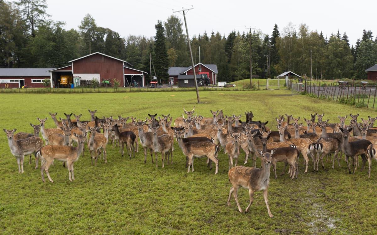 Kuusipeuroja aitauksessa Harjun tilalla Liesjärvellä.
