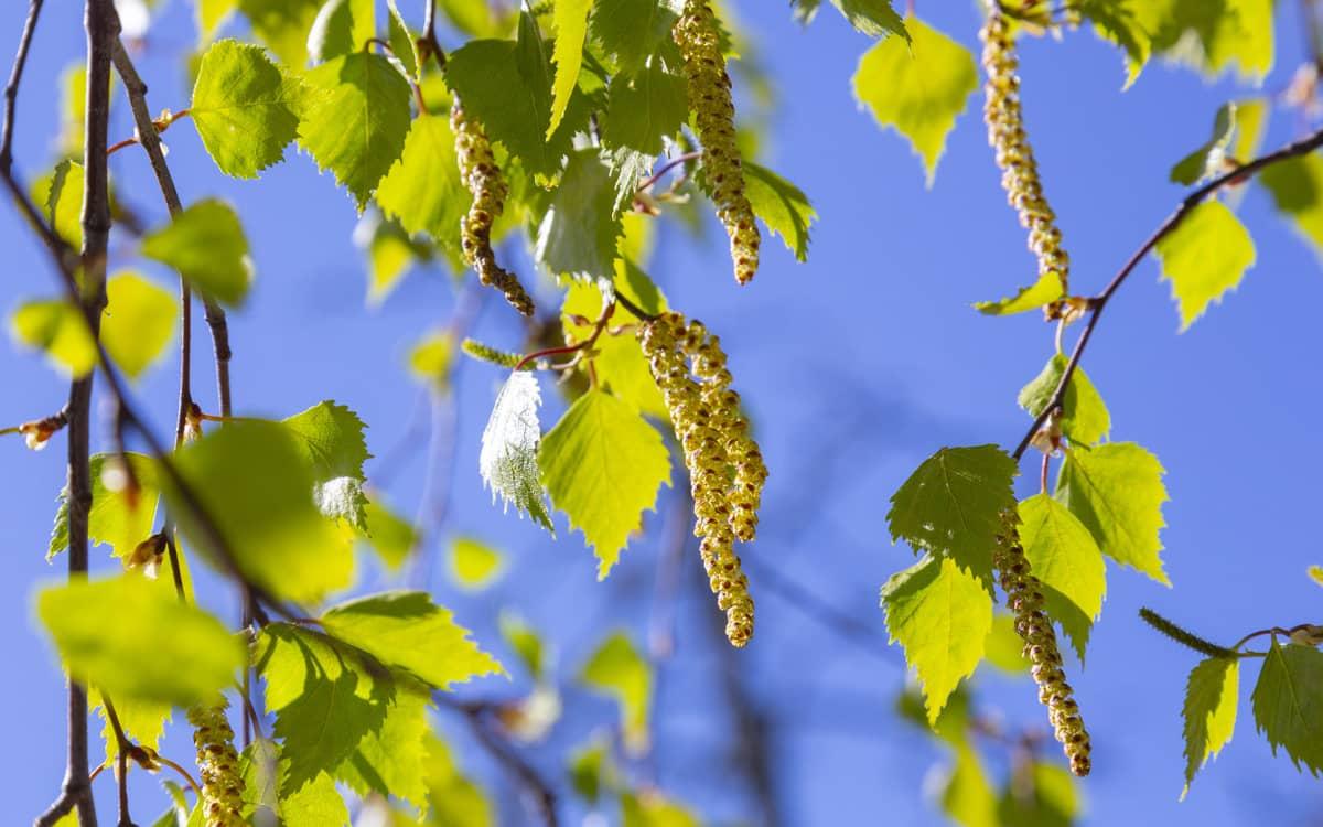 keväisiä koivun oksia