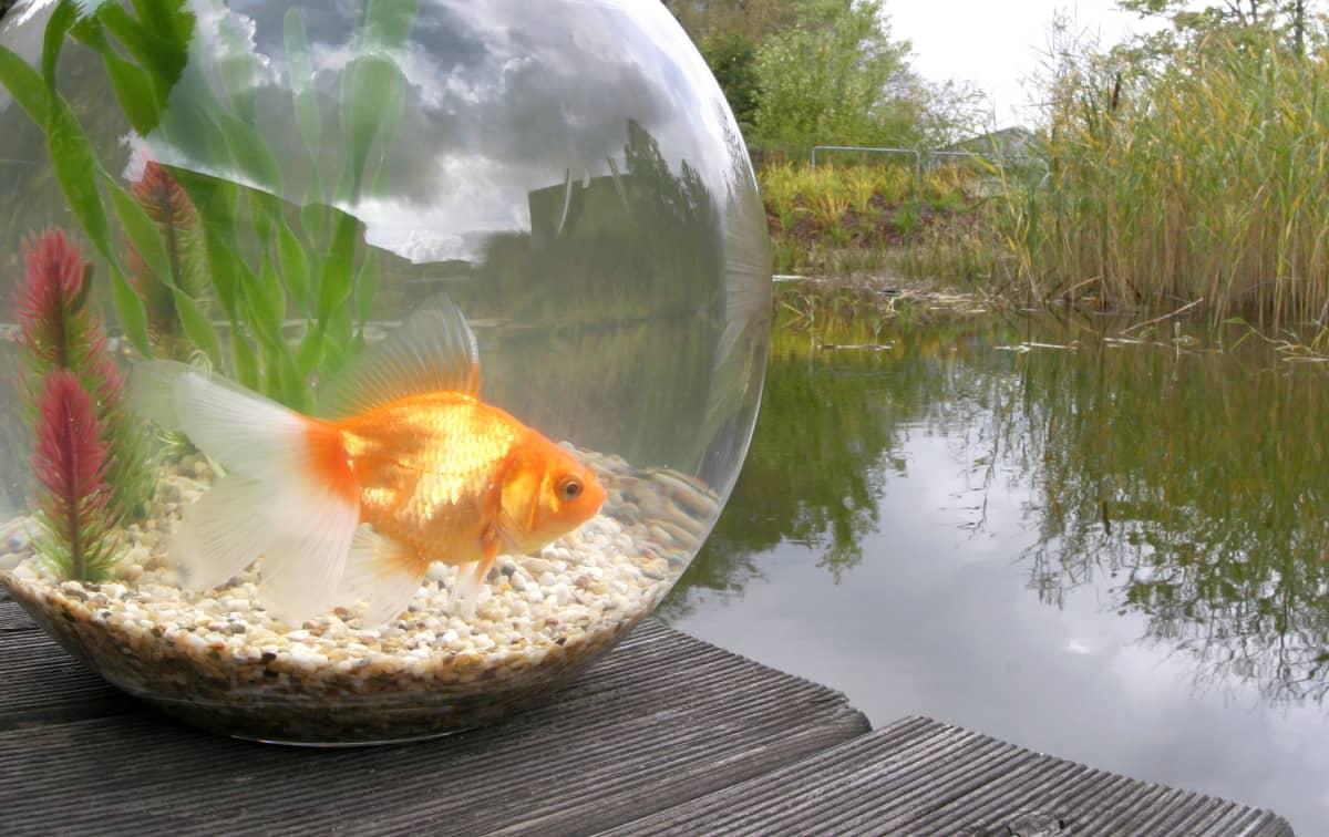 Kultakalamalja vesistön vieressä.