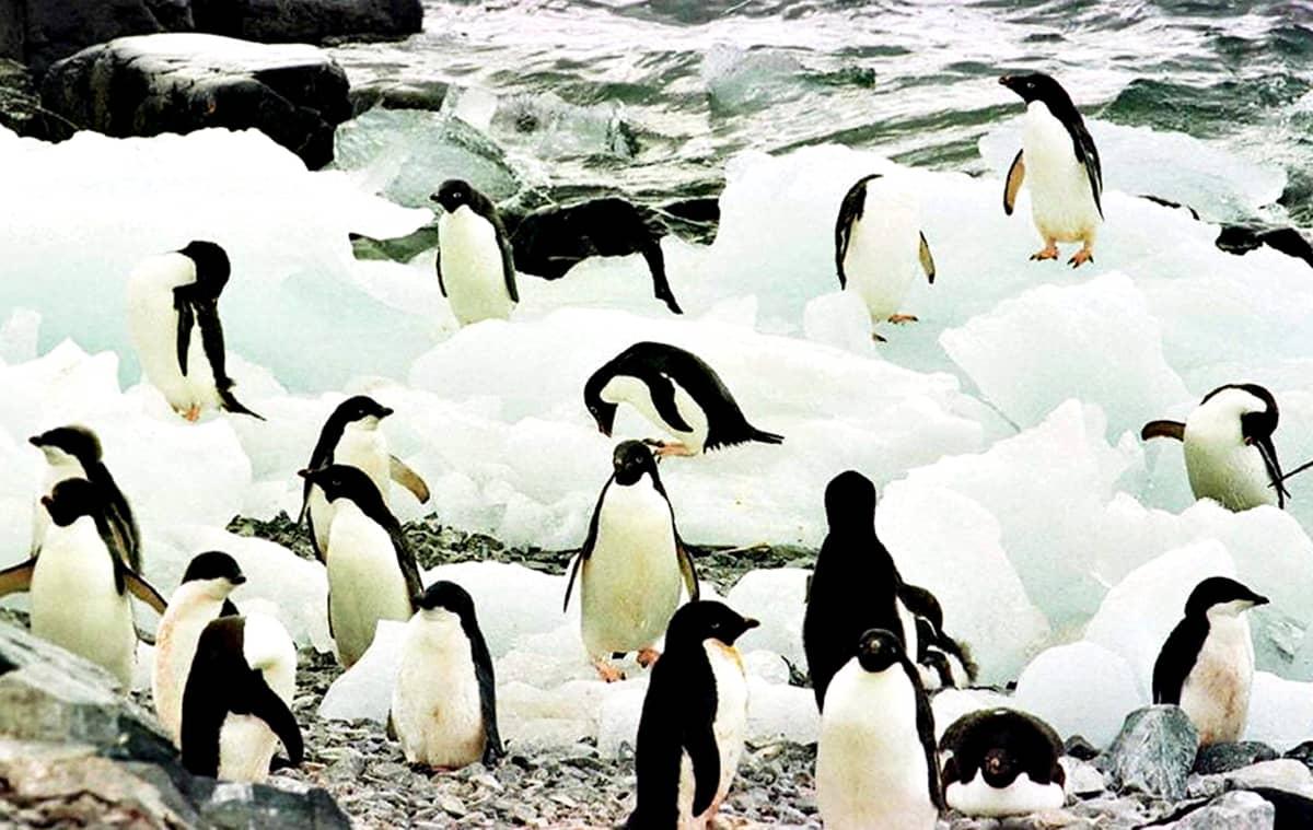 Etelämantereen pingviinejä.