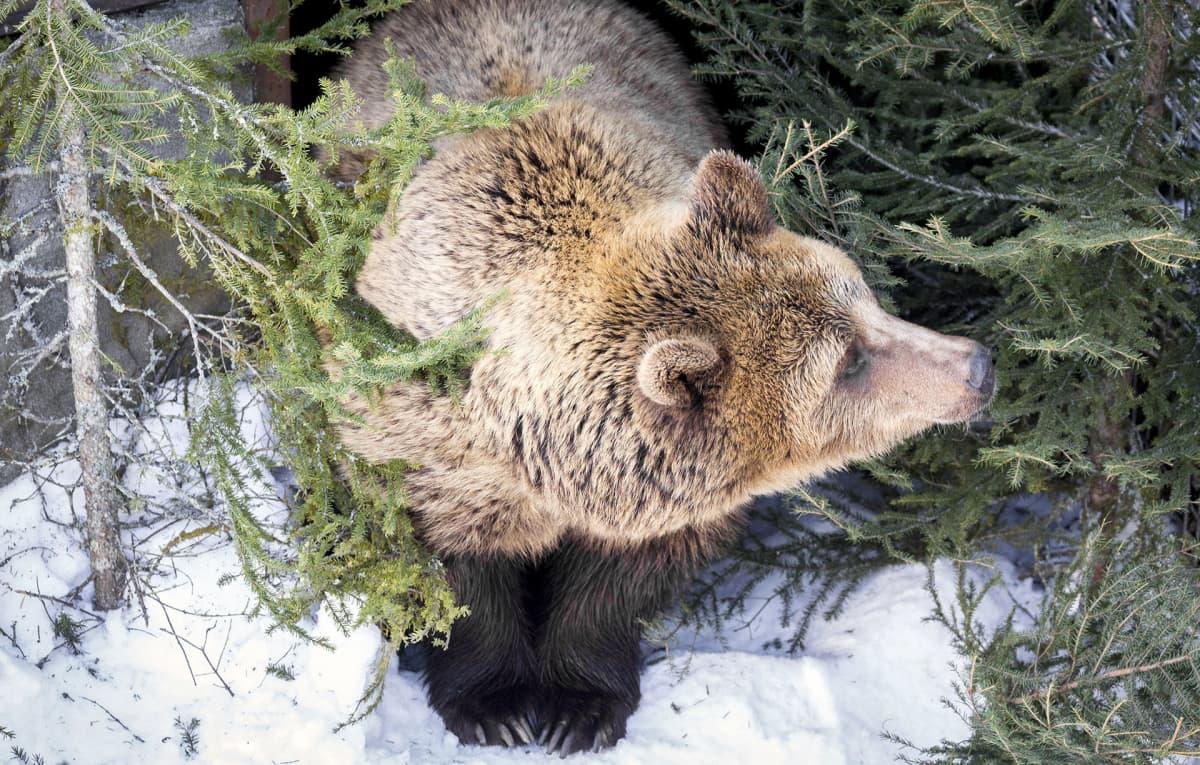 Karhu ulkoilee Ranuan eläinpuistossa.