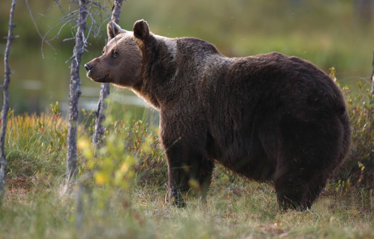 karhu suolla