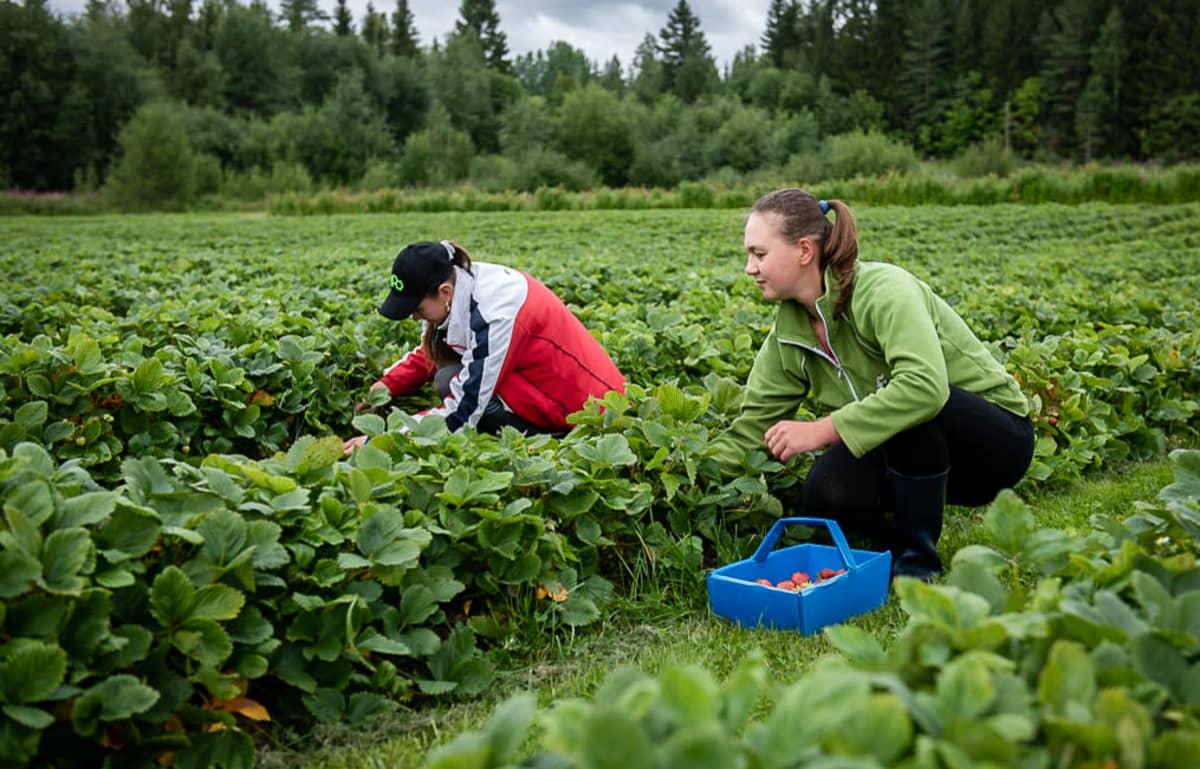 Kaksi naista poimii mansikoita