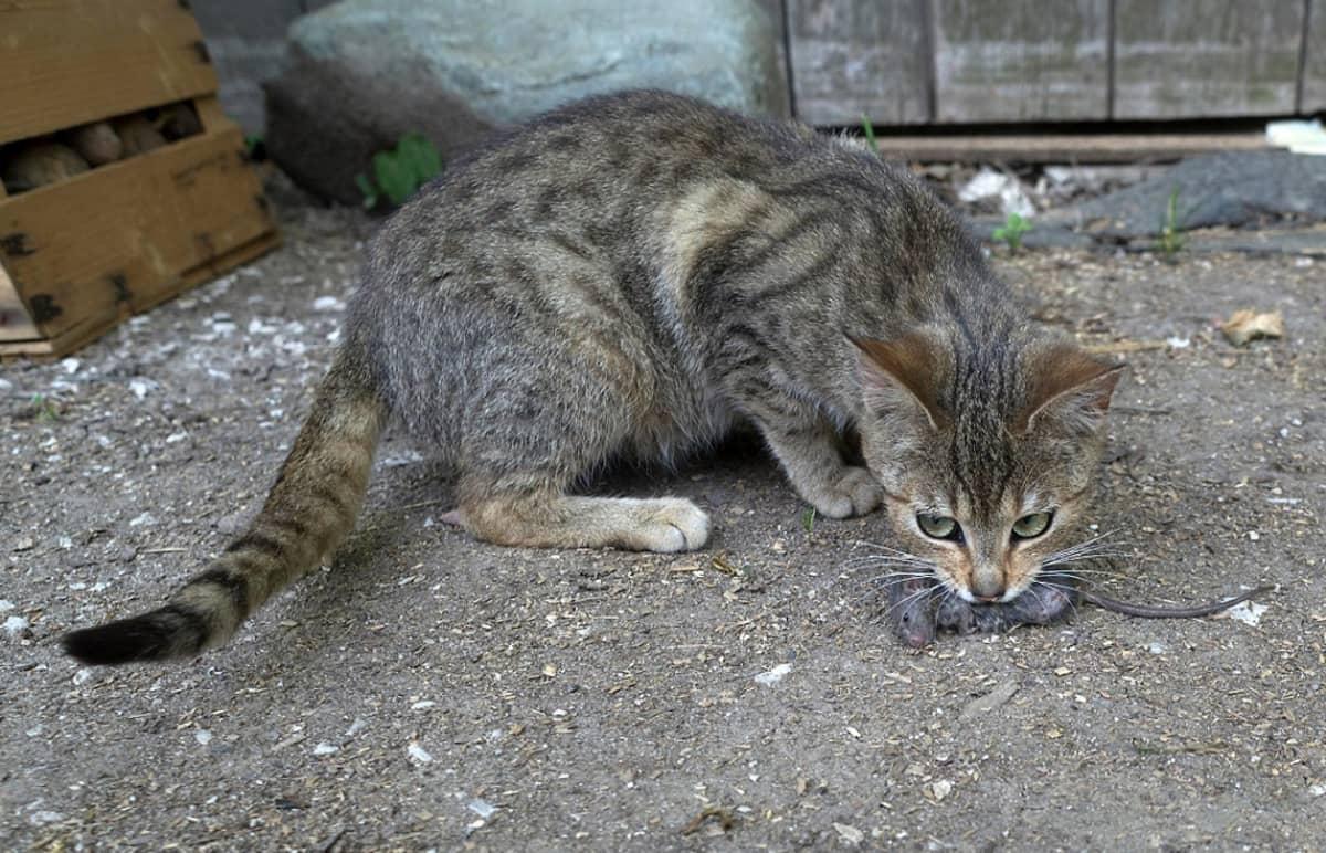 Harmaaraidallinen kissa on saanut saaliiksi hiiren.