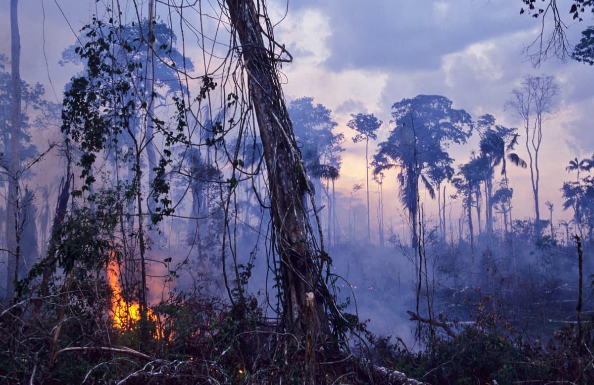 Amatzonin sademetsää poltetaan.