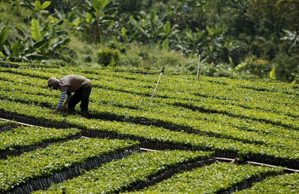 Rivejä vihreitä kasvipensaita, mies poimii kahvinpapuja, taustalla viidakko.