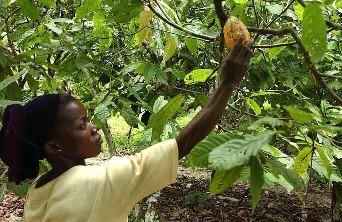 Nainen poimii kaakaopuun hedelmää.