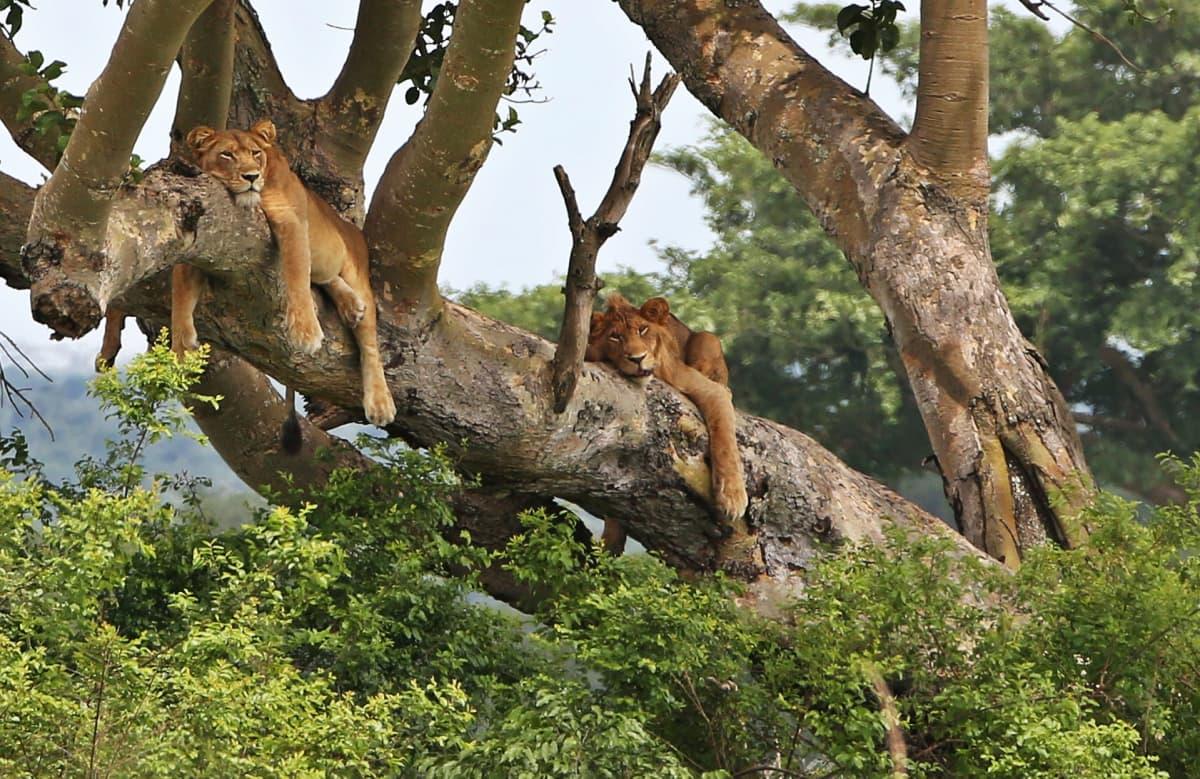 Kuningatar Elisabetin kansallispuistossa Ugandassa on ryhmä puihin kiipeäviä leijonia.