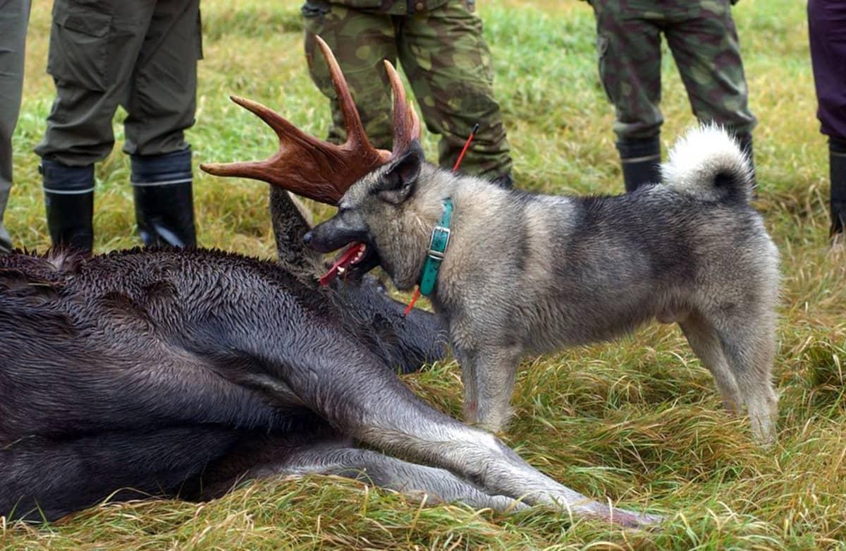 Hirvikoira kaadetun hirven vieressä. Taustalla metsästäjien jalkoja.