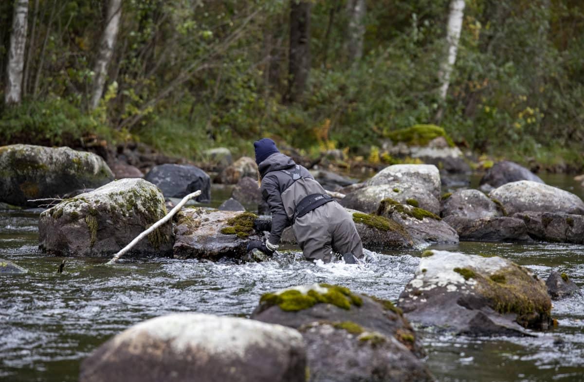Saimaan vesi- ja ympäristötutkimuksen vesistöasiantuntija Iia-Elisabeth Suomi kahlaamassa Saunakoskessa.
