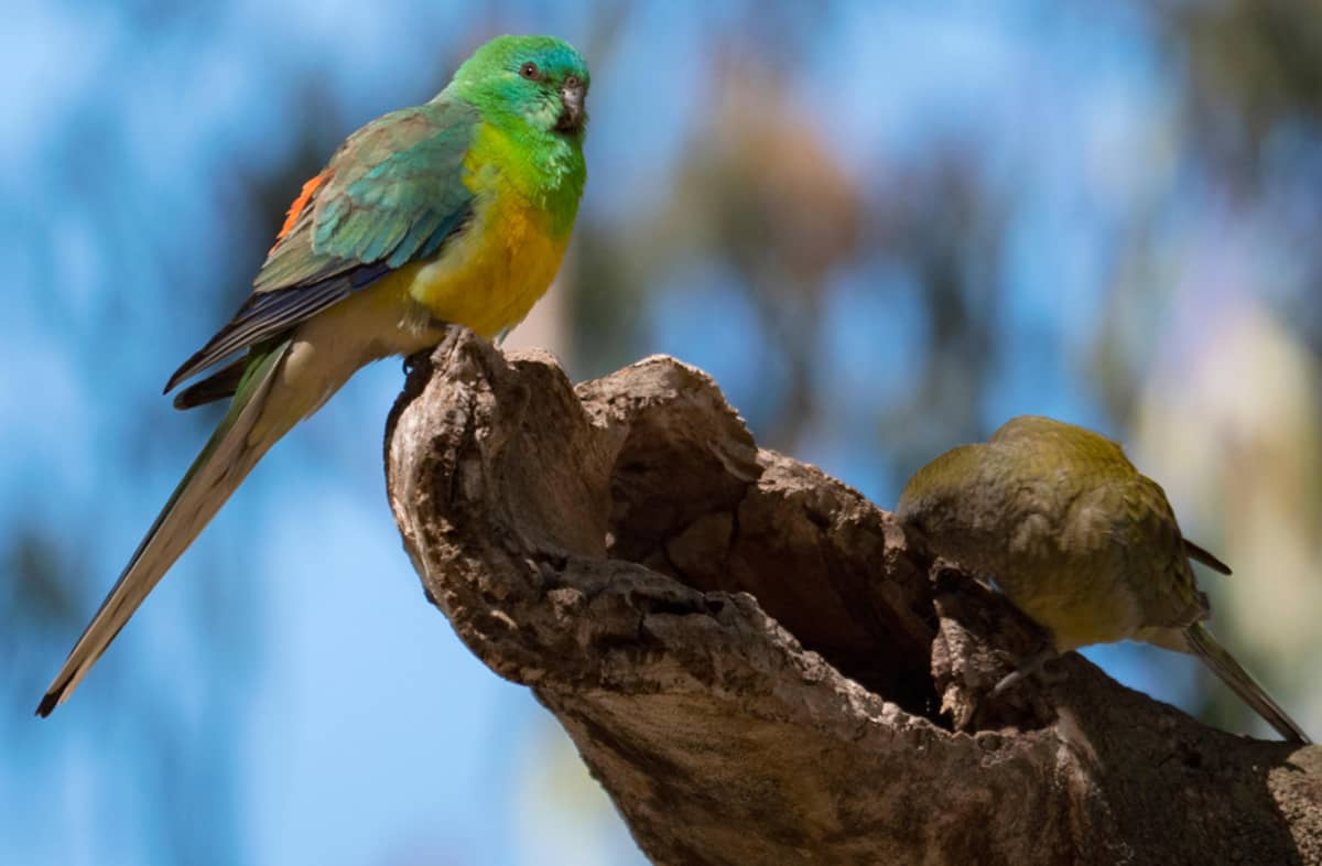 Vihreän ja keltaisen kirjava papukaija istuu ontolla puntyngällä. Ruskea papukaija kurkistelee rungon sisään.
