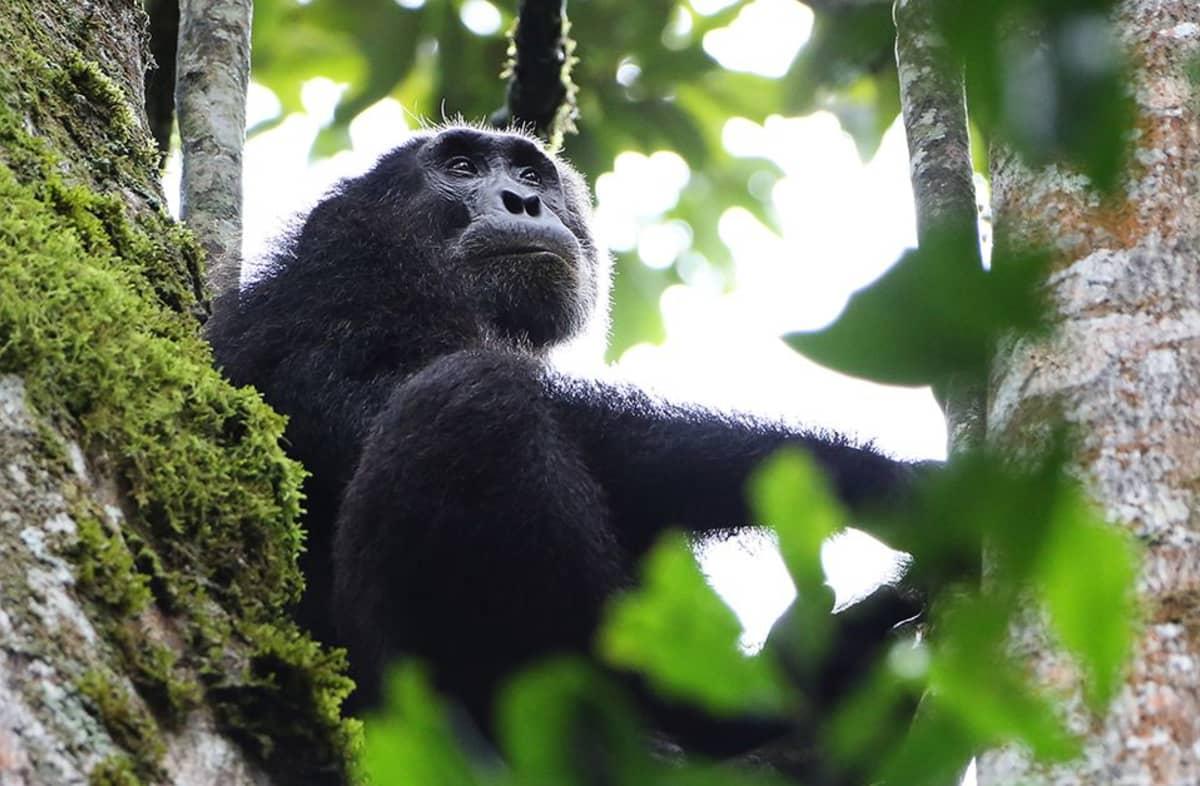 Simpanssi kuvattuna Kibale-luonnonpuistossa Ugandassa lokakuussa vuonna 2012.