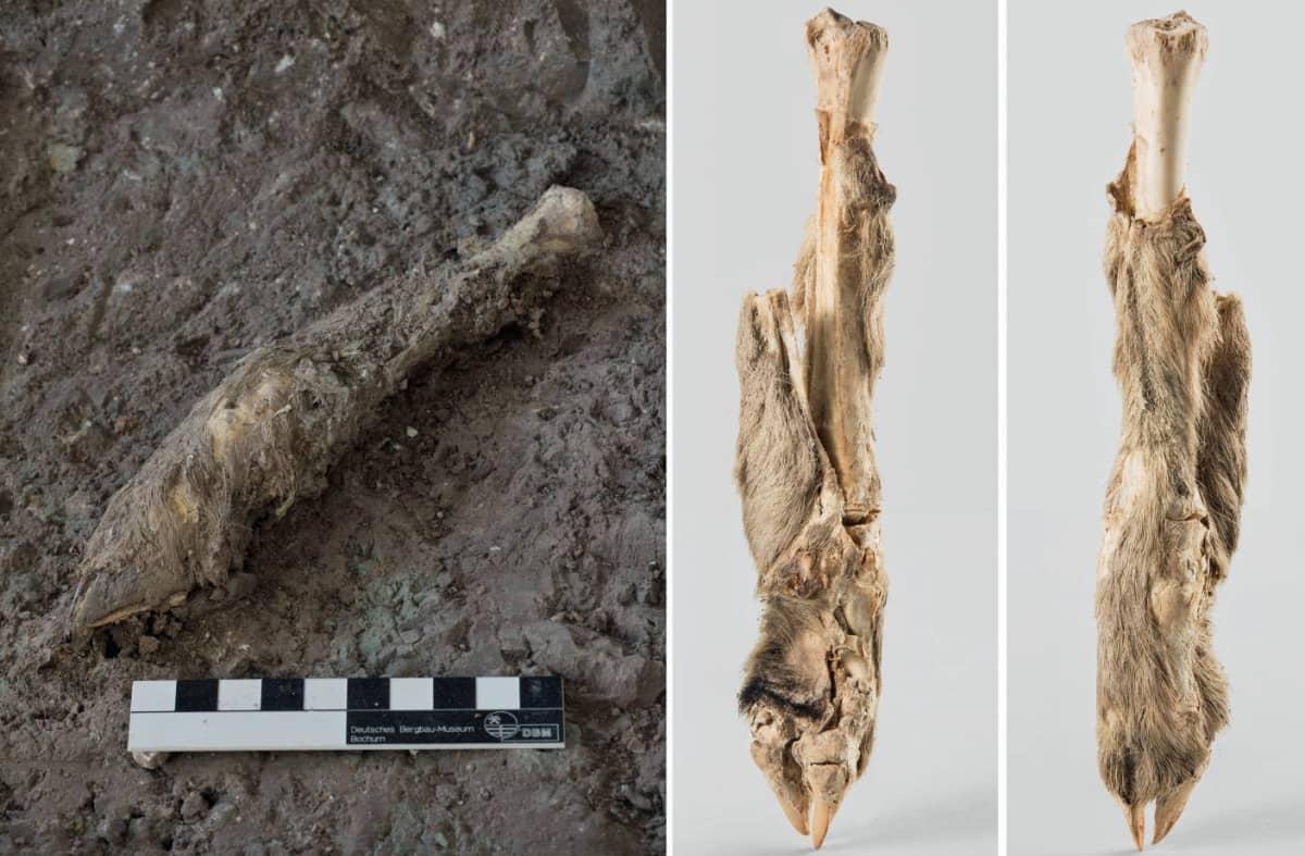 Kurainen lampaanjalka maassa. Vieressä sama jalka puhdistettuna,  kahdesta eri suunnasta kuvattuna.