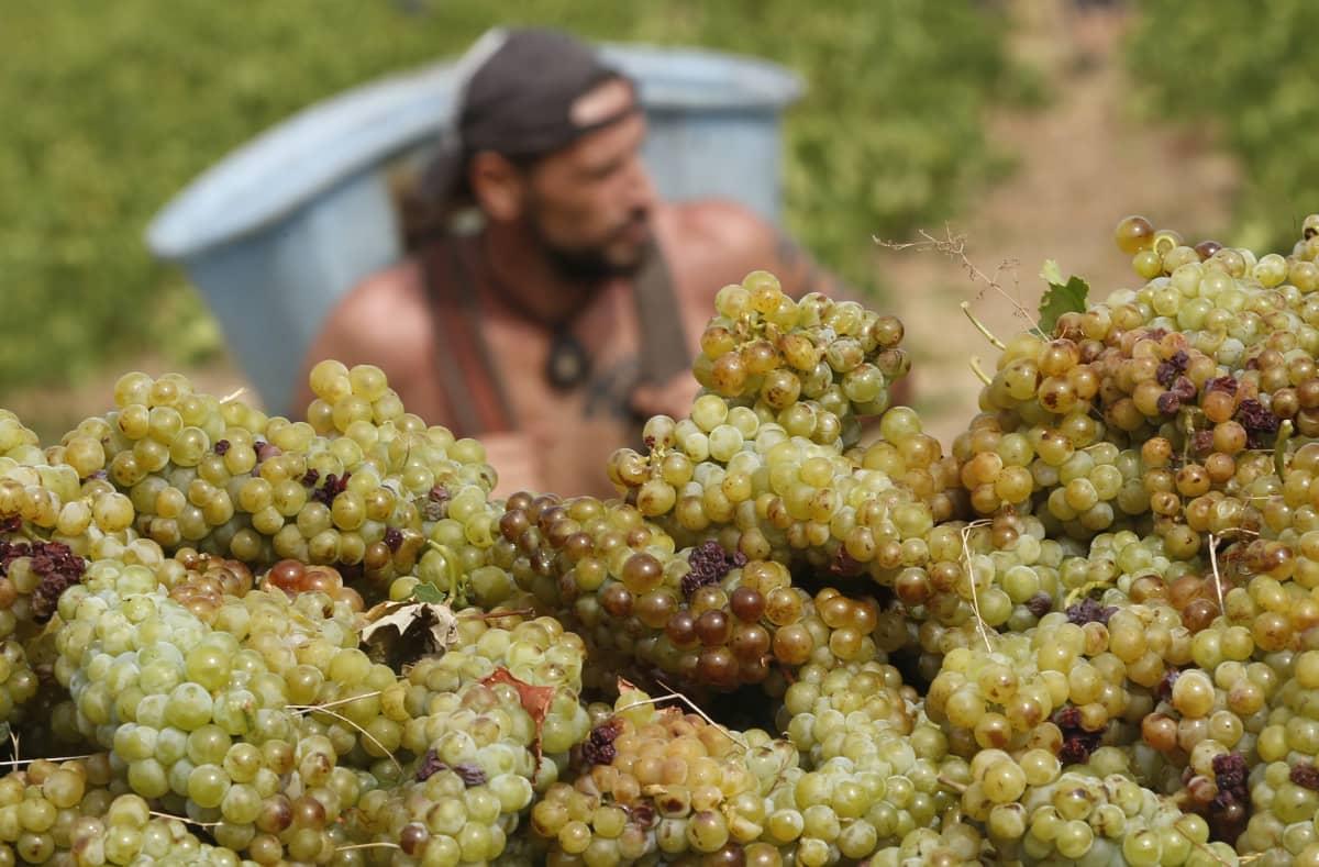 Etualalla viinirypäleitä, taka-alalla paidaton viininviljelijä.