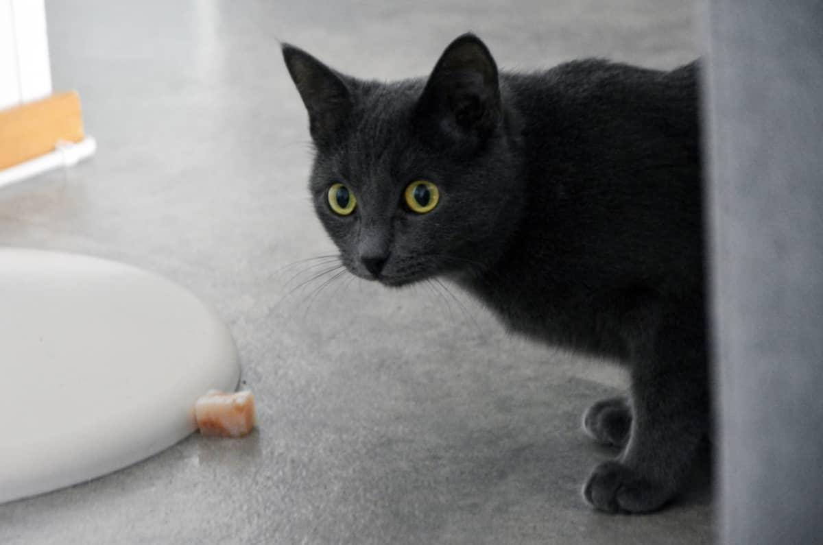 Kissa nauttimassa kalaa