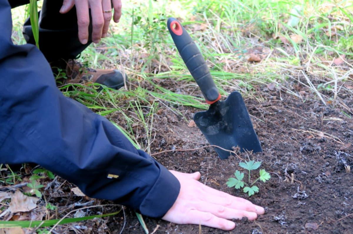 Mies, kuokka ja hämeenkylmänkukan taimi