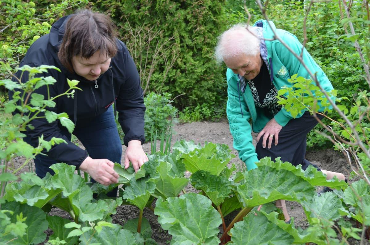 Asta Asunmaa ja Viola Peltoniemi tutkimassa Violan puutarhan vanhaa raparperiä.
