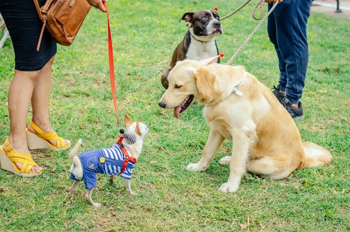 Kolme koiraa nurmikolla. Kahdesta taluttajasta näkyvät vain jalat.