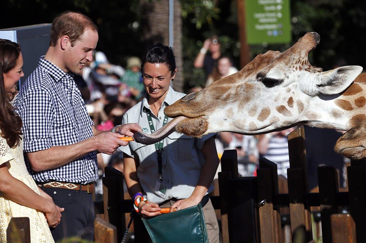William ja Kate ihastelevat kirahvia.