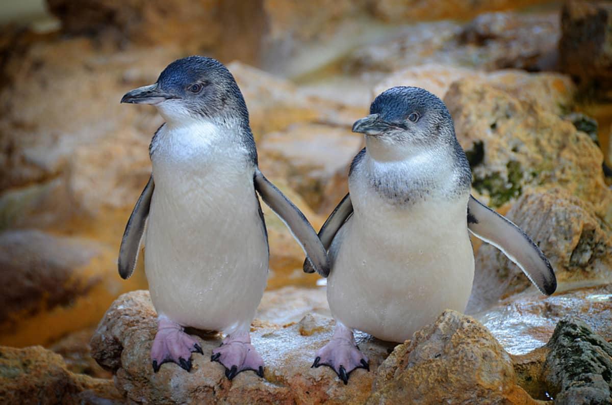 Kaksi pingviiniä vierekkäin rantakivikossa. Vatsat ja siipien alapuolet ovat valkoiset, muut höyhenet sinertävänmustat. Jalat ovat vaaleanpunaiset ja mustakyntiset.
