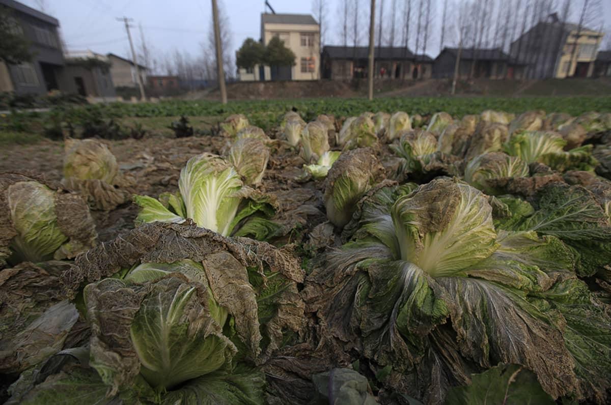 Viereisen kemiantehtaan päästöistä kärsineitä vihanneksia kasvimaalla.