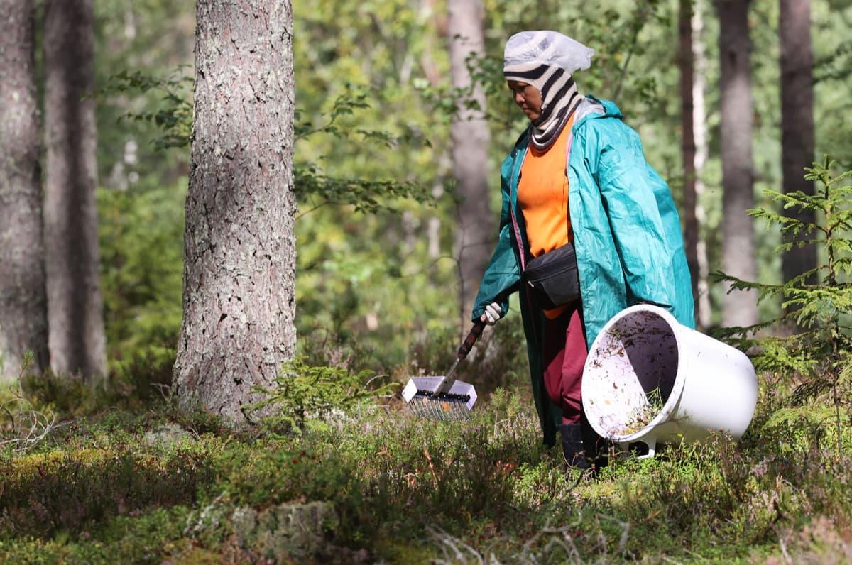 Nainen keräsi mustikoita Virolahdella 25. elokuuta.