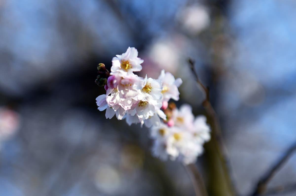 Sää on ollut hyvin lämmin myös Keski-Euroopassa. Kirsikat puhkesivat kukkaan Szczecinissä Puolassa.