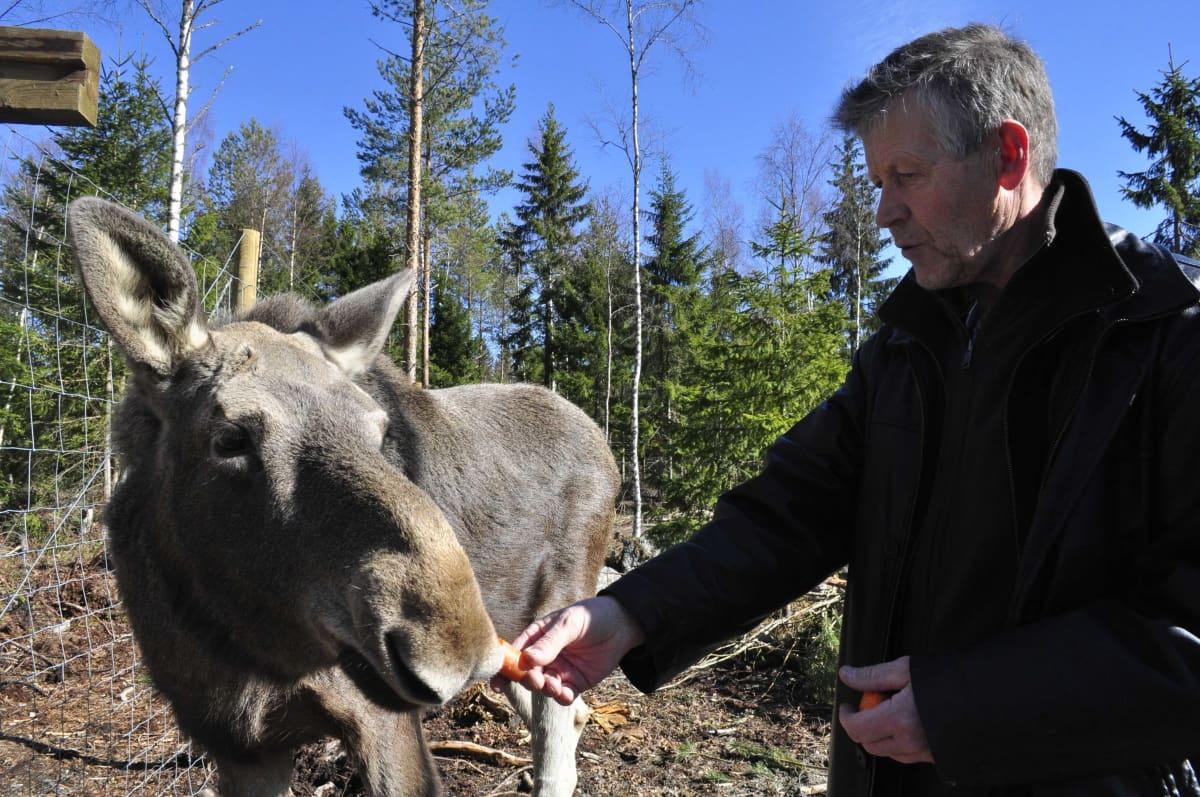 Markku Harju kertoo, että näin keväällä odotellaan uusia silmuja syötäväksi Mervi-hirvelle.
