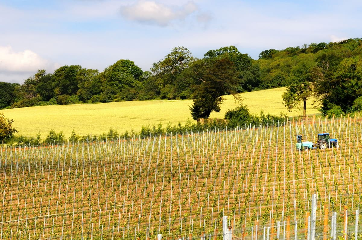 Orgaaninen viinitila Surrey Hillsissä Englannissa.