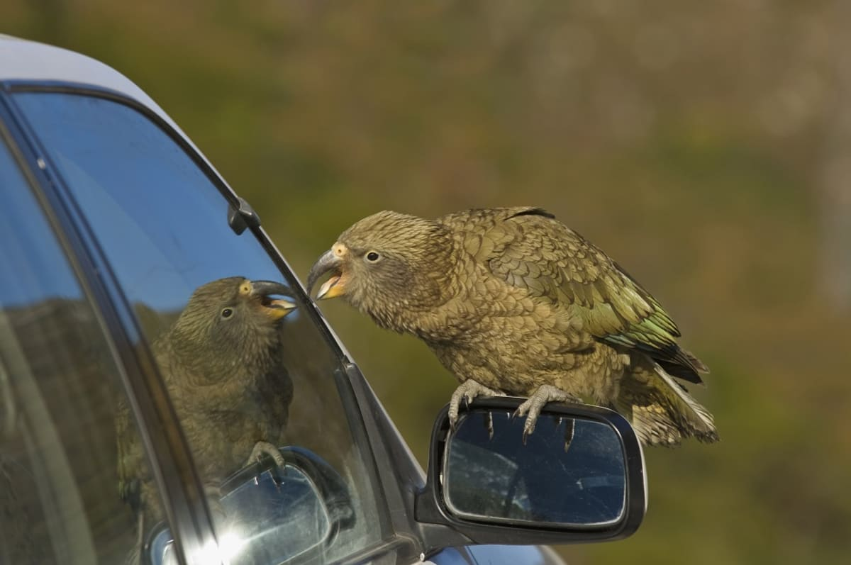 Auton peruutuspeilin päällä istuva kea katselee kuvaansa auton sivuikkunasta.