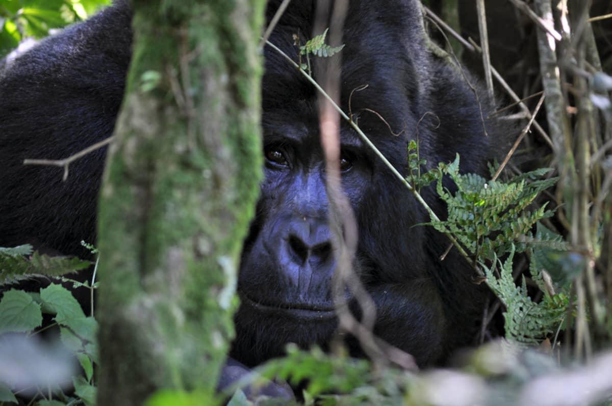 Gorilla kurkistaa puun takaa