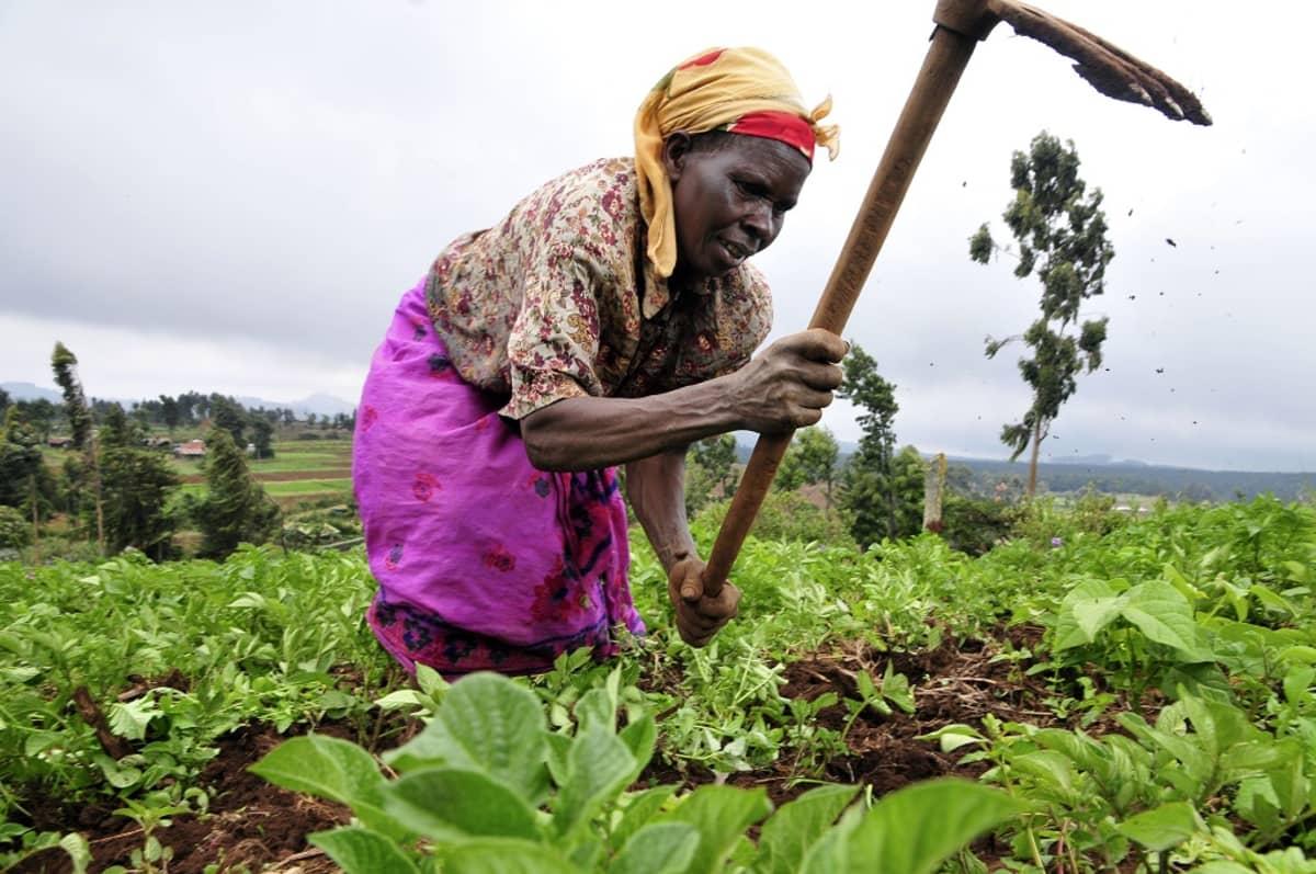 Nainen kuokkii pellolla.