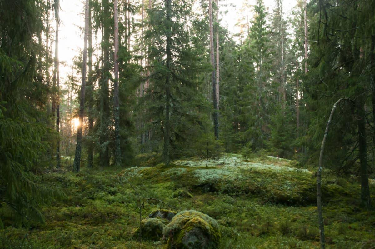 Metsäinen maisema.