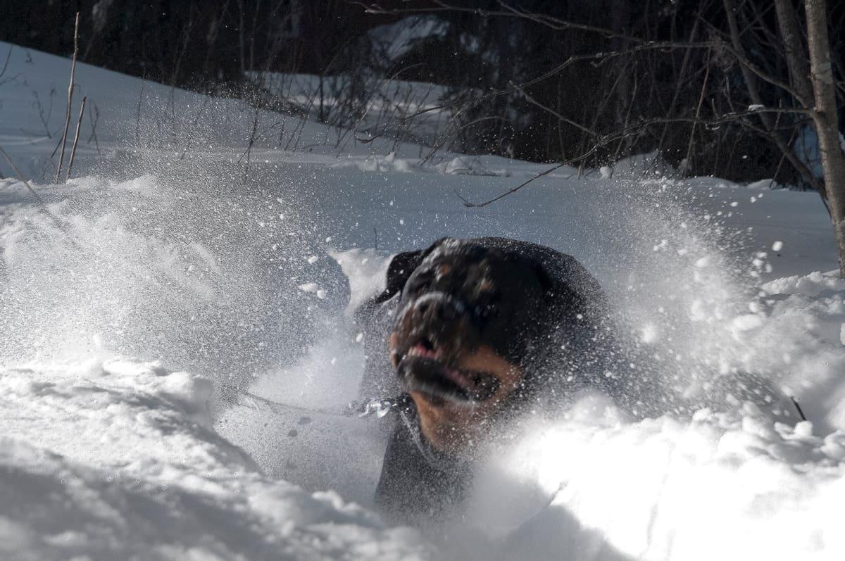 Rottweiler peuhaa lumessa