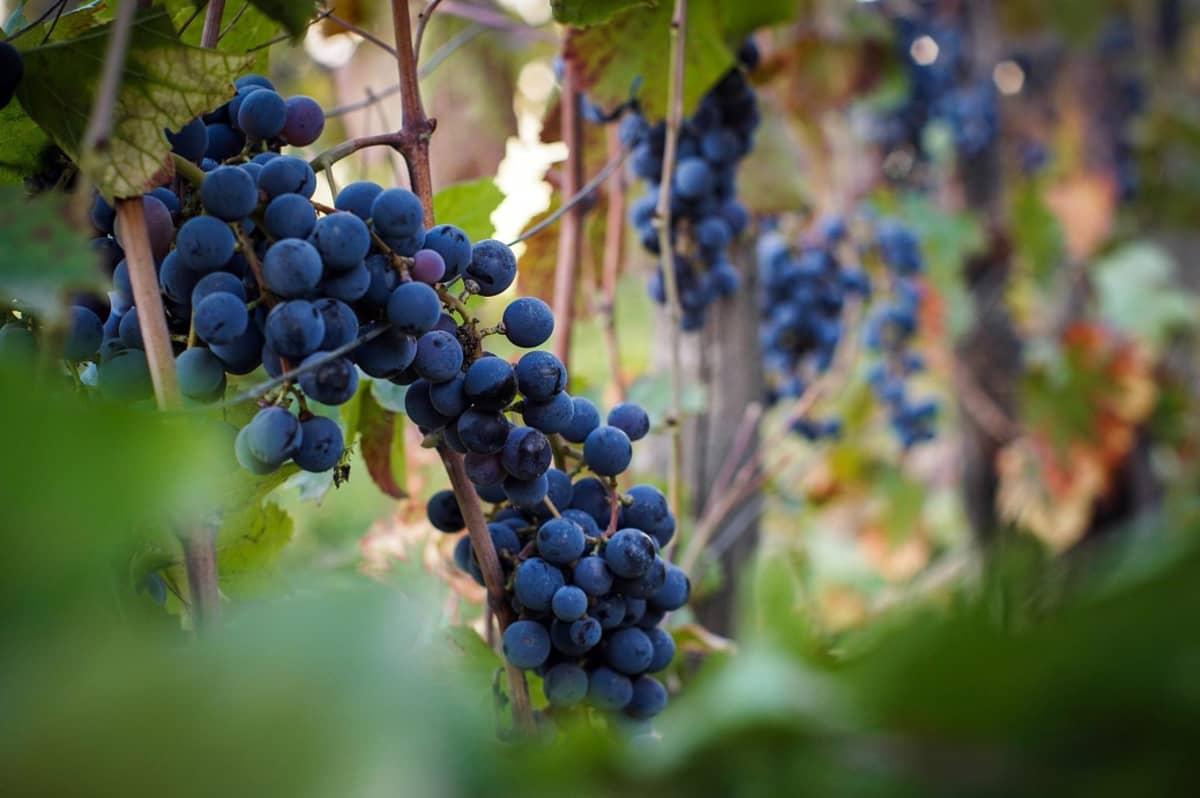 Tumman sinisiä viinirypäleitä tertussa.