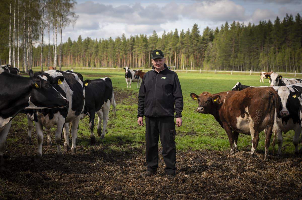Viljelijä Tuomo Latvala seisoo lehmiensä keskellä pelloillaan.