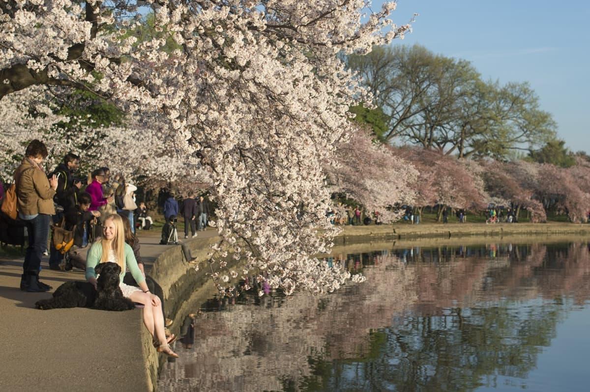 Kirsikankukkia Washingtonissa viime keväänä.