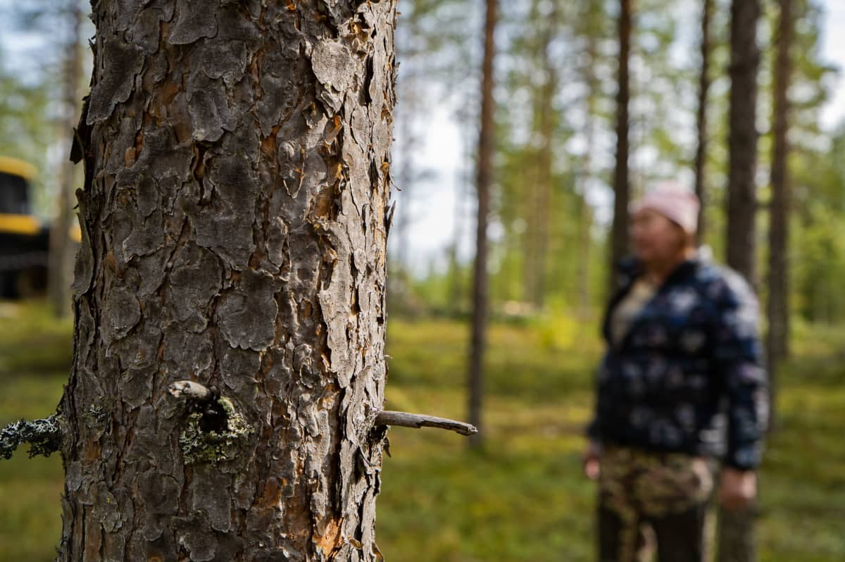 Männyn runko ja taustalla Rilla Porojärvi sumeana.