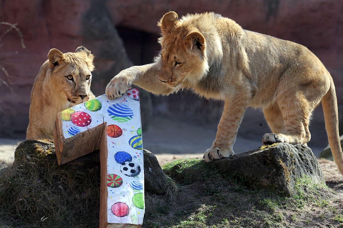Atlaksenleijonan pennut Zari ja Joco tutkivat syntymäpäivälahjaansa Hannoverin eläintarhassa.