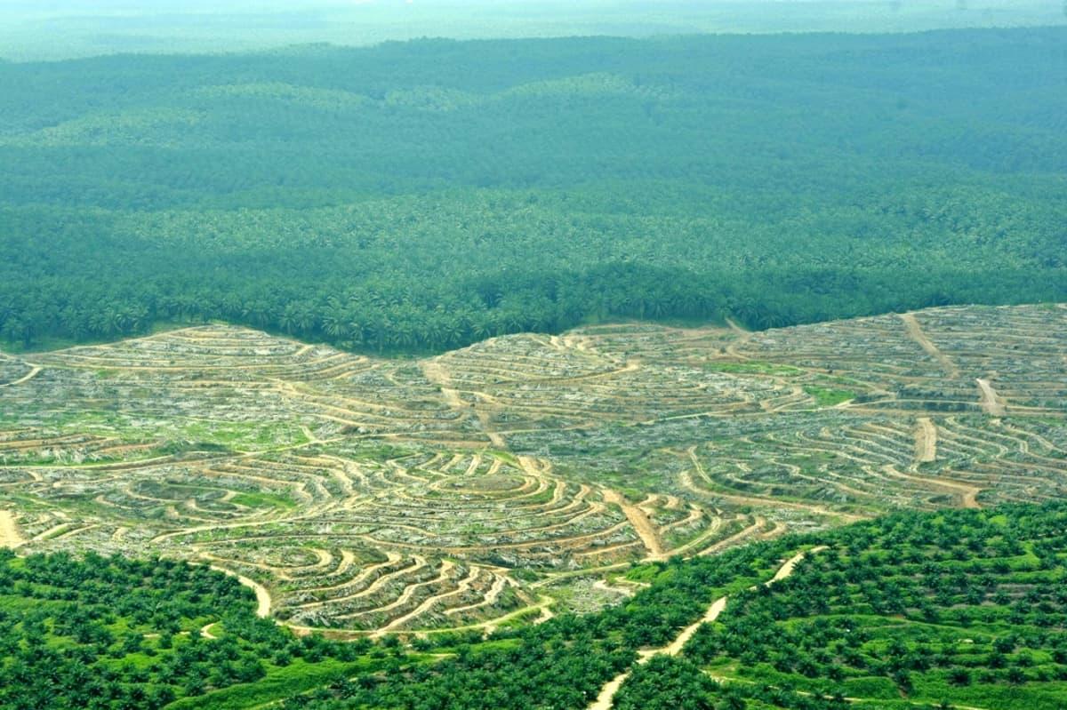 Ilmakuva metsään raivatusta plantaasista.