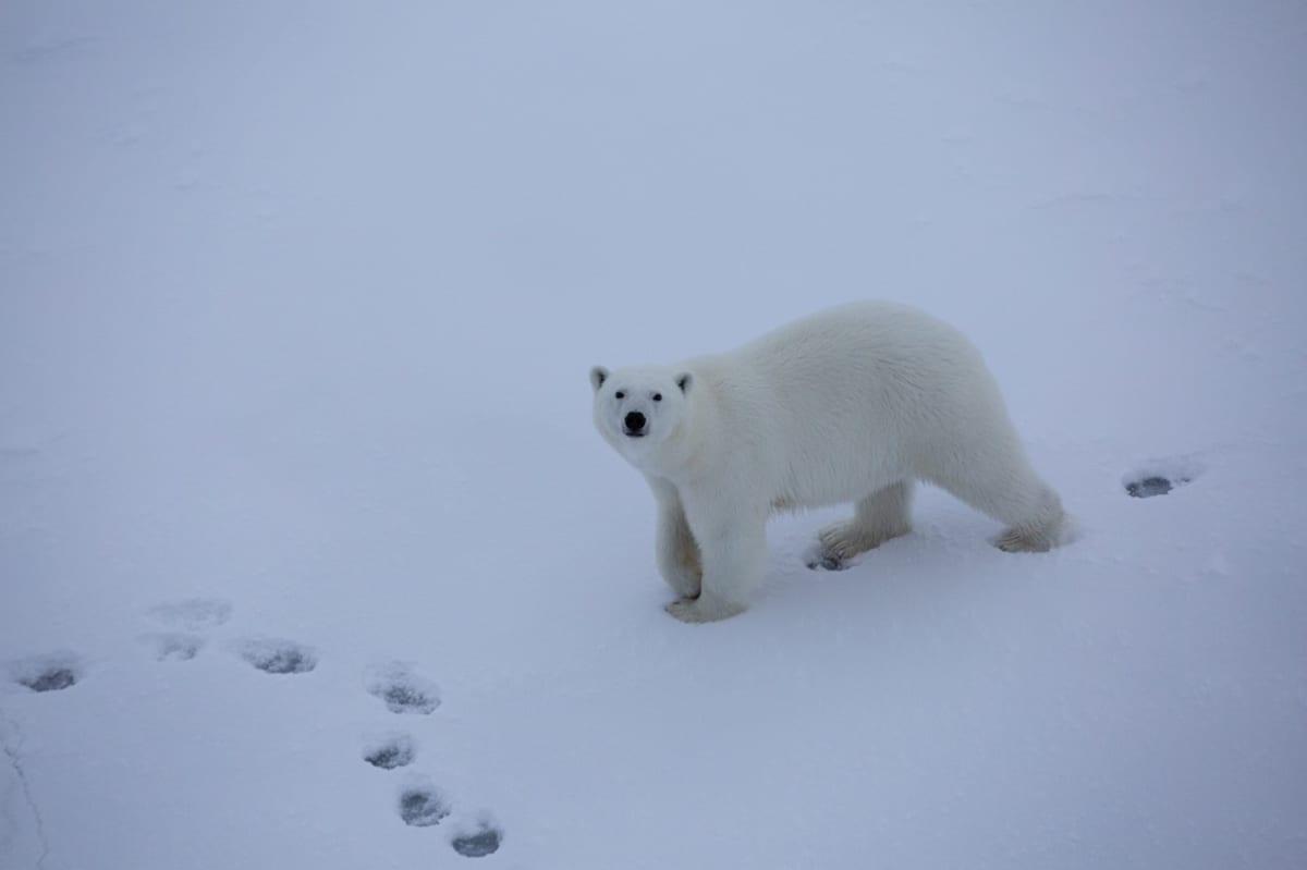 Jääkarhun katselee kohti kuvaajaa.