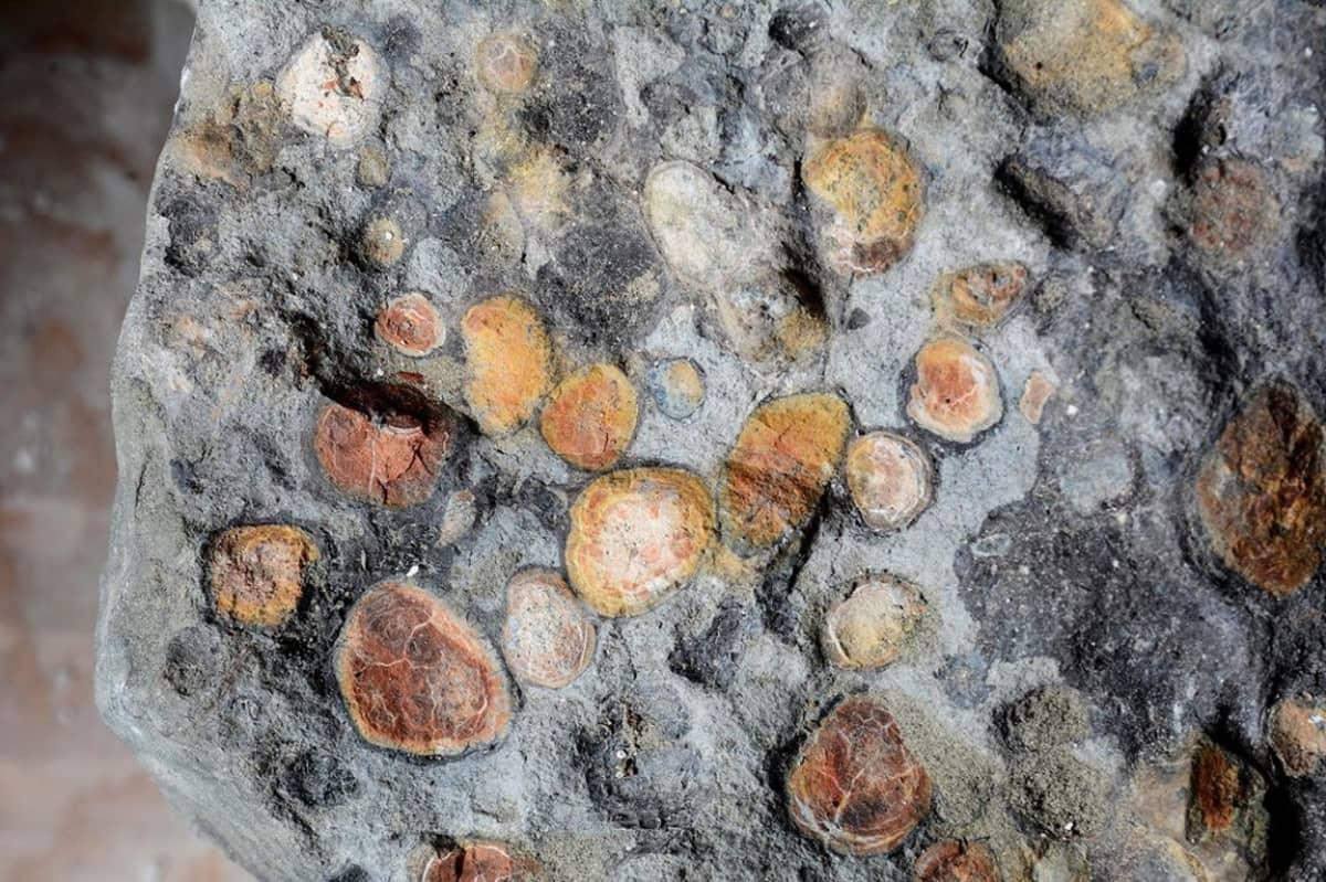 Kasvien ruskehtavia jäämiä  muuten harmaassa fossiilissa.