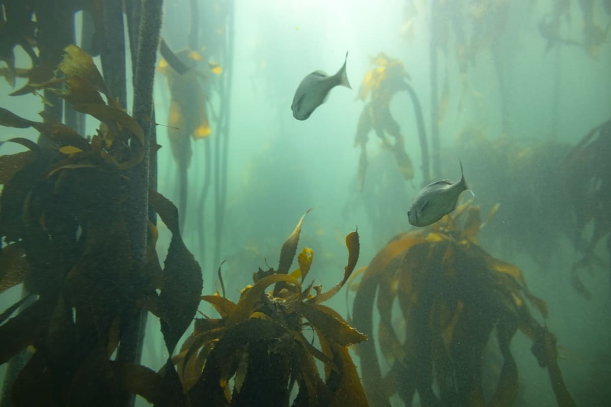 Kaloja meriruohojen välissä vihreässä vedessä.