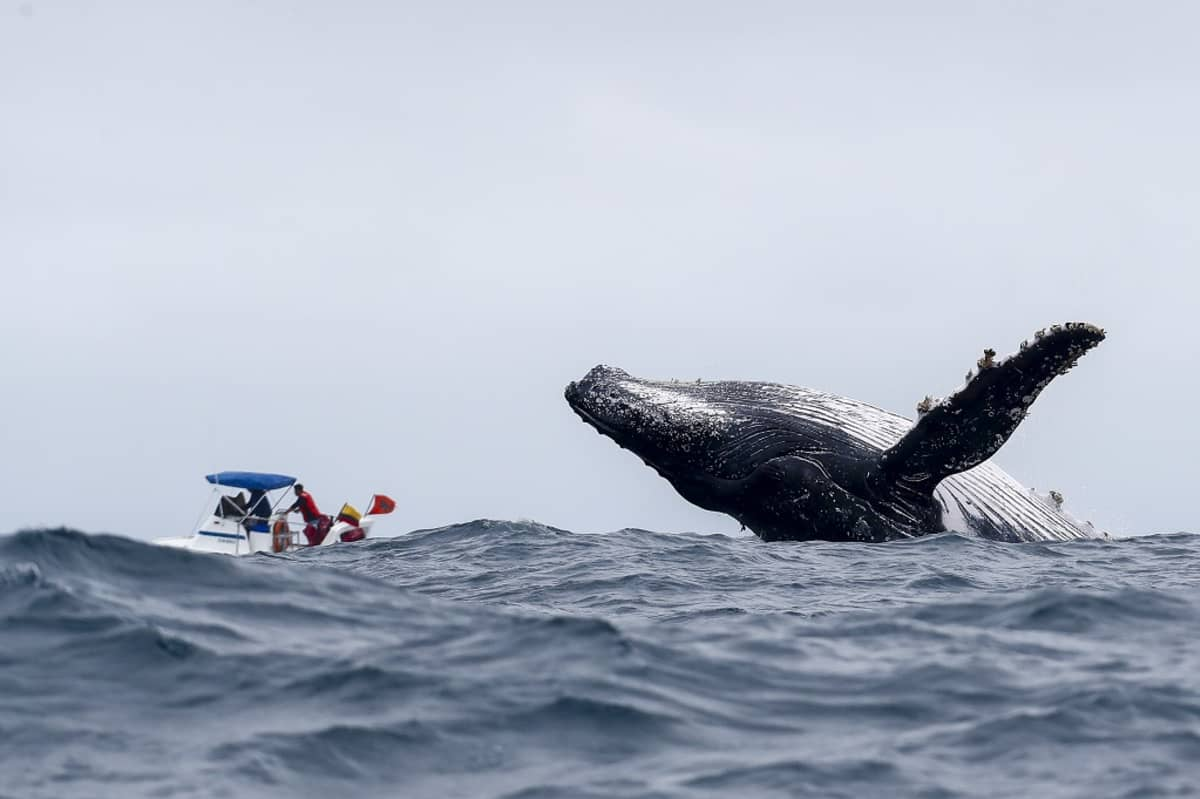 Ryhävalas ponnistaa vedestä selkä edellä, vieressä ihmisiä vesijetin kyydissä.