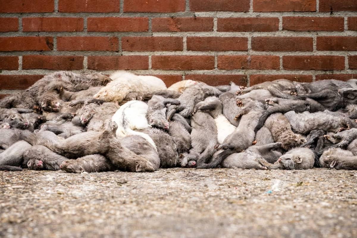 Tiilimuurin viereen kasattuja kuolleita minkkejä.