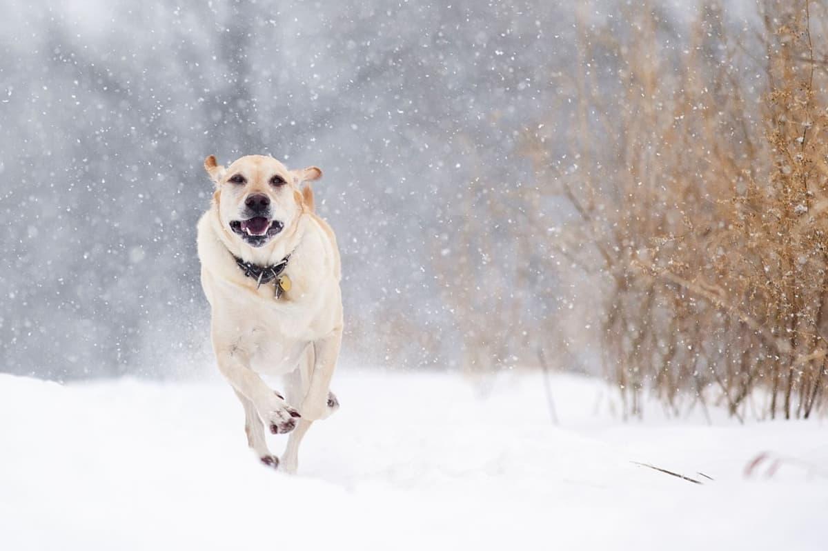 Vaaleaturkkinen labradorinoutaja kirmaa lumisateessa kohti kuvaajaa.