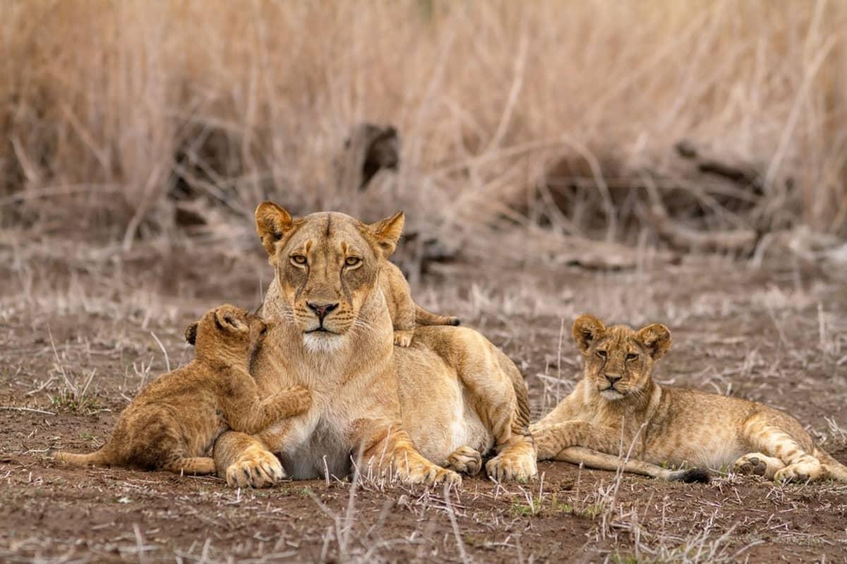 Leijonanaaras ja kaksi pentua.