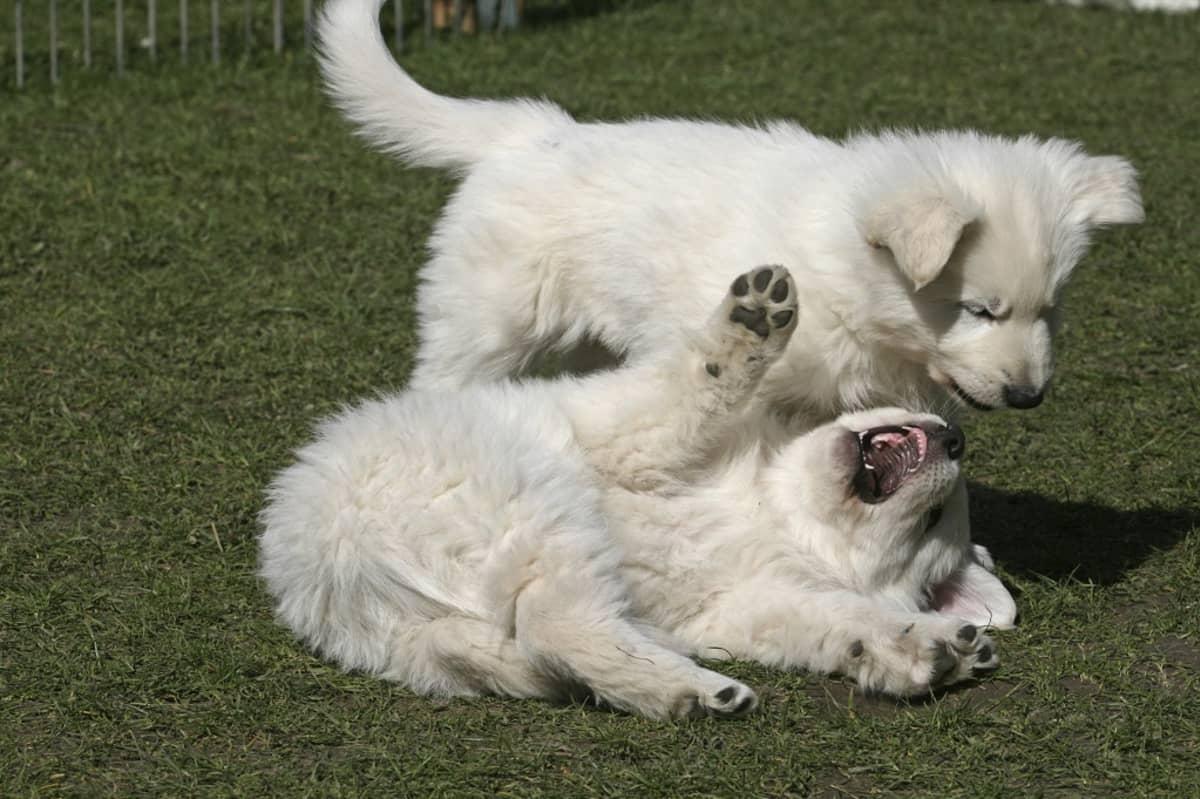 Selällään numikolla makaava balkoinen koirankentu tavoittelee hampaillaan toista pentua.